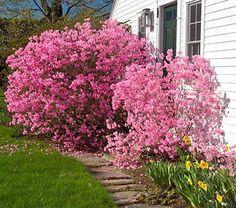Rhododendron mucronulatum Cornell Pink