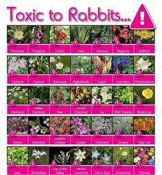 Toxic to rabbits