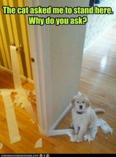 """The cat asked me to stand here... why do you ask?"" ! Dog Shaming shame - Golden"