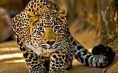 Leopard (NT)