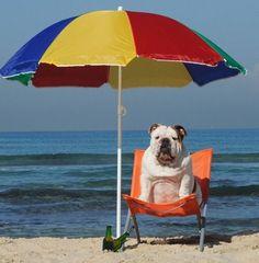 sunbathing bulldog #buldog
