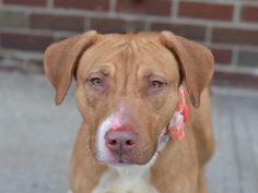 TO BE DESTROYED - 03/03/15 Brooklyn Center -P  My name is CAPRESE. My Animal ID # is A1028305. I am a spayed female tan and white am pit bull ter. The shelter thinks I am about 1 YEAR 6 MONTHS old. For more information on adopting from the NYC AC&C, or to  find a rescue to assist, please read the following: http://urgentpetsondeathrow.org/must-read/