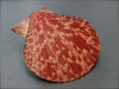 Pecten Mimachlamys gloriosa, Philippines, 48,7 mm