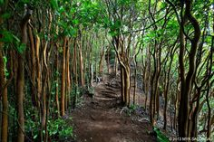 The trees of Hawaii Loa Ridge Trail, Oahu.