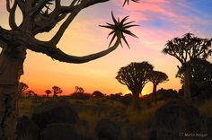 Quiver Tree Forest, Namibia   quiver tree forest sunset the sun sets behind the quiver trees aloe ...