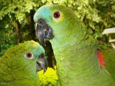 Papagaios                                                                                                                                                      Mais