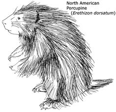 Line drawing raccoon stock art drawing of a northern for Porcupine coloring page