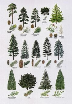 conifer identification - Google Search - Sequin Gardens                                                                                                                                                                                 More