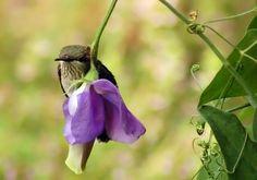 Little bird on sweet pea flower