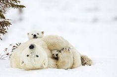 【雪 snow】 ホッキョクグマの母子