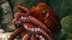 Meet the world's largest species of octopus. Information, photos and videos related to the giant Pacific octopus exhibit at the Monterey Bay Aquarium, Monterey, California. Octopus Facts, Red Octopus, Octopus Tentacles, Octopus Eyes, Octopus Squid, Types Of Octopus, Octopus Eating, Octopus Photography, Animal Photography