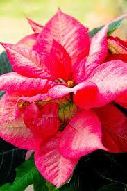 Bildresultat för julstjärnor blomma