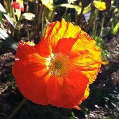 """Orange"" you glad it's almost the weekend? Have a good one! #orange #dbgflowers (Iceland poppy- Papaver nudicaule)"