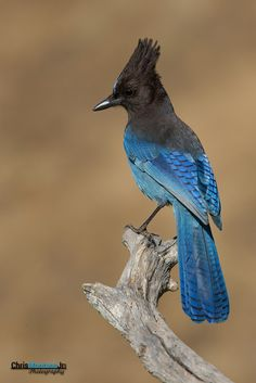 Colorful birds - Steller's Jay - Also called the Long-crested Jay, Mountain Jay, or Pine Jay.