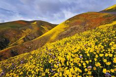 Wildflowers, Carrizo Plain National Monument, San Luis Obispo County, California, U.S.