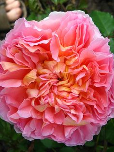 abraham darby  rose I have a wonderfull bush in my  Phoenix yard