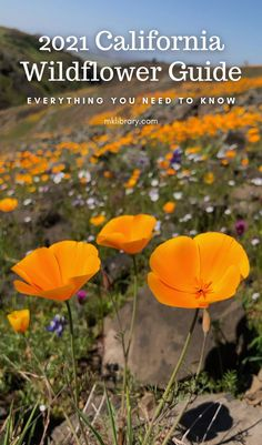 The California Super Bloom Wildflower season is fast approaching, and if there is anything I've learned this past year, it's that there is no better time than the present to stop and smell the flowers. I've put together a list of areas throughout the golden state where you are most likely to find wildflower hotspots. #wildflowers California Wildflowers, California Poppy, California Travel, Lake Forest Beach, Wild Iris, Death Valley, Washington State, Pacific Northwest
