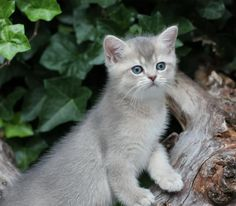 British Shorthair Kitten | Cattery Fieami | www.kittentekoop.nl