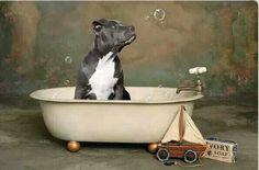 Cute pit bull puppy
