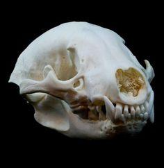 American Badger Skull