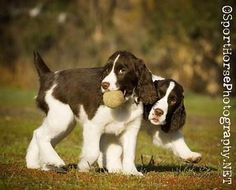 Springer spaniels. My future dogs.