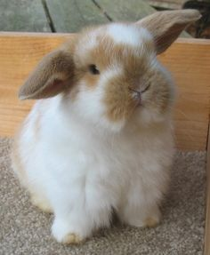 Cute silly bunny, white with honey. Mini Lop Bunnies, Cute Baby Bunnies, Funny Bunnies, Cute Babies, White Bunnies, Cute Little Animals, Cute Funny Animals, Fluffy Animals, Animals And Pets