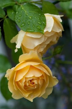 Yellow and white rose http://www.biomannafarms.com/blog