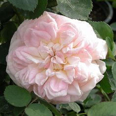Alchymist Rose 14.95