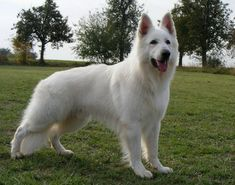 Fun With Your Your German Shepherd. Long Coat German Shepherd, White Swiss Shepherd, German Shepherds, Dragon C, Schaefer, Wild Dogs, Dogs And Puppies, Doggies, Working Dogs