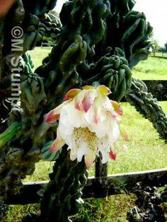 Cacto-vela (Cereus Peruvianus)