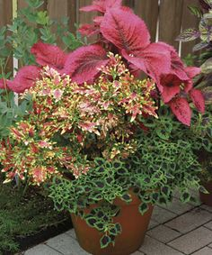 Sizing Up Coleus.  Love Coleus.  Easy to grow and it's hardy.