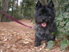 Black cairn ~ Looks like Toby before he got old and grey.