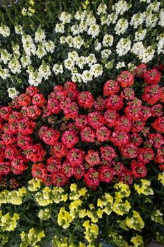 Tall Flowers, Bright Flowers, Cut Flowers, Fall Planting, Citrus Heights, Pet Safe, Spring And Fall, Flower Beds, Color Pop