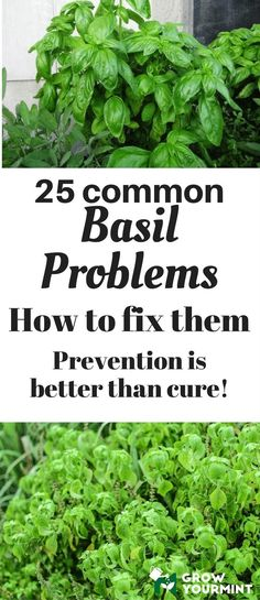 25 common basil problems and how to fix them Save the image and follow me to support my website!#gardens#organic#basil#growyourmint.com