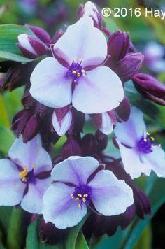 Buy Tradescantia Merlot Clusters Online | Hayloft Plants