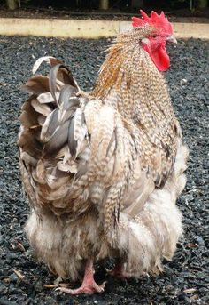 """Chocolate- Cuckoo"" are the color and the feather pattern- Orpington is the breed. Fancy Chickens, Chickens And Roosters, Chickens Backyard, Hen Chicken, Chicken Eggs, Java Chicken, Fluffy Chicken, Chicken Coops, Beautiful Chickens"
