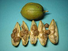 馬拉巴栗 Malabarchestnut ★種子不可冷藏或常溫保存 ★撿回來一定要馬上處理。 ⚫ 種籽泡水幾小時就會膨脹裂開,露出芽點。只需浸泡 2d,泡太久會爛掉。選取膨脹裂開露出芽點的種子。每顆種子都有 2~3 個新芽。 ⚫ 種籽較大,排列太密不易生長,因此間距稍寬約 0.5~1cm,芽點朝下整齊排列。⚫ 種籽較大,發芽長根時爆發力較強,因此用保鮮膜包覆,再以橡皮筋圈住盆器, ★以防種子發芽使根部脫離土壤。盆器包覆後移至間接陽光處,就等待它發芽成長囉! ⬛ 懶人植物:耐陰性極佳,可塑性好,生長快速、容易照顧。果實要等翌年春夏之際才成熟,自動開裂散出,內有 10~12 顆種子,白色略帶淡褐,煮熟可食,味如花生。 Vegetables, Green, Food, Essen, Vegetable Recipes, Meals, Yemek, Veggies, Eten