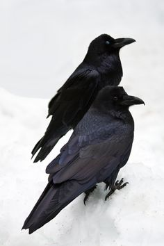 """What a Gorgeous Pair of Corvids!! """"Yosemite Ravens"""" by Greg ClureI love the blue-black of the crow in the foreground. Beautiful photo!"""