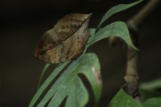 Butterfly mimicking a leaf