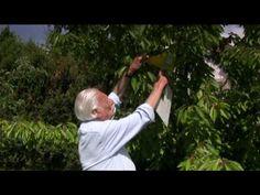 Cseresznyelégy ellen színcsapda - YouTube Gardening, Lawn And Garden, Horticulture