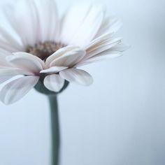 15:37 #photo #photography #picture #flowers #flowerslovers #flowerzdelight #ig_flowers #flowersofinstagram #flowerstalking #softfocus #flowersandmacro #pasandha__flowers #macrophotography #naturelover_gr #tv_flowers #ig_japan #ig_artistry #jj_onlywhite #mastersofwhiteness #macro_freaks #macroclique #fs_light #macro_spotlight #panasonic #lumixg6 #sigma #tv_depthoffield #tv_closeup #japan #sapporo