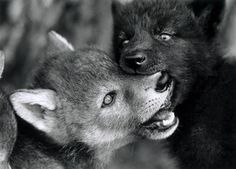 Muzzle Grab Behavior in Canids