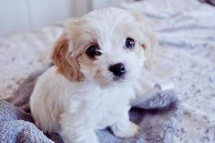 Just too adorable! Those cute little puppy faces are deceiving. This dog will have captured your heart before you realize she's in control and in charge.