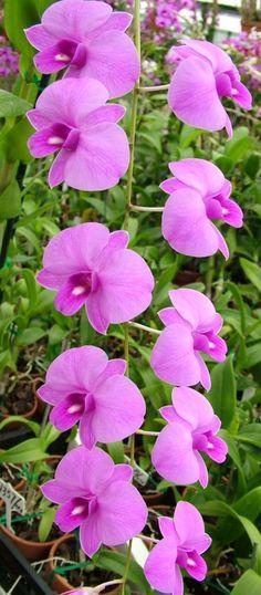Orchid: Dendrobium bigibbum var superbum 'Traditional'
