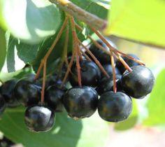 Billedresultat for aroniabær Superfood, Smoothie, Juice, Berries, Healthy Recipes, Healthy Food, Nutrition, Vegetables, Fruit