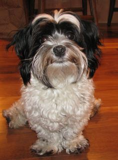 I am waiting for my treat. Havanese day!