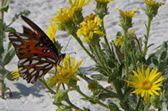 Bon Secour National Wildlife Refuge Butterfly on the Dunes