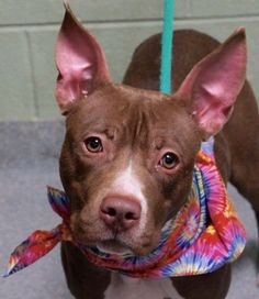 CINNAMON - A1065026 - - Manhattan  Please Share:   TO BE DESTROYED 02/23/16   A volunteer writes: Cinnamon was found as a stray. She is a pretty chocolate young girl with rabbit's ears, very thin and very uncomfortable in our shelter's environment. She feels safe in her kennel, comes to her door when called and even licks my hand and wags her tail. She is leashed easily but walks fast, going nowhere, like a lost pooch. Free in a pen, she does not really come or
