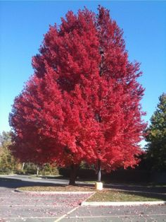 Red maple, Talent, Oregon. IPhone, BCY