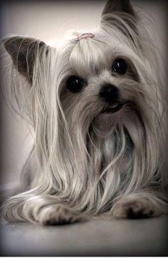 Yorkie | Yorkshire Terrier